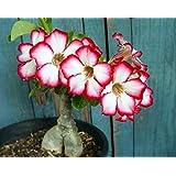 Tropica - piante grasse - rosa del deserto (Adenium obesum) - 8 semi