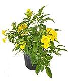 PlantVine Tecoma stans, Yellow Elder, Esperanza, Trumpetflower, Bells of Fire - 10 Inch Pot (3 Gallon), Bush, Live Plant
