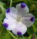 750 FIVE SPOT Nemophila Maculata Flower Seeds