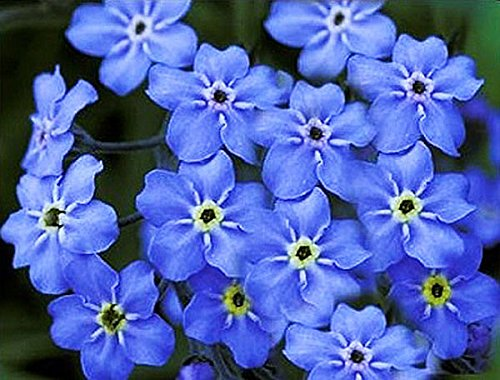 Forget Me Not – Dwarf Ultra Marine - Approximately 1,000 Tiny Seeds. 6
