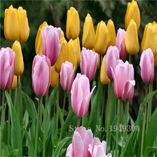 Amazon Com 200 Pcs Tulip Bonsai Tulip Flower Beautiful Tulipanes