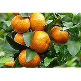 Exotic Plants Citrus reticulata - - 5 semi