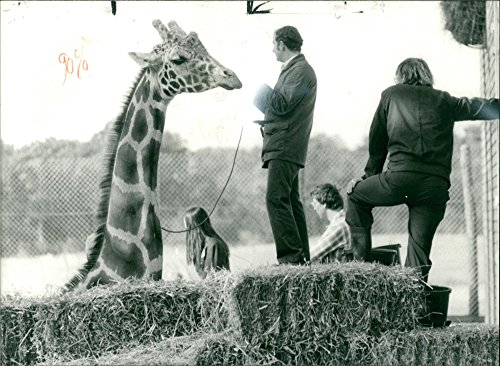 Vintage photo of Giraffe Animal.A vitamin drip feed for victor At maxvell park zoo.