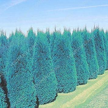 Fabelhaft Shopmeeko 100 stücke Blaue Zypressen Pflanzen Seltene Platycladus &WB_53