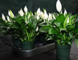 Beautiful LARGE~Peace Lily Spathiphyllum In Bloom 6'' Tropical House Plant Easy