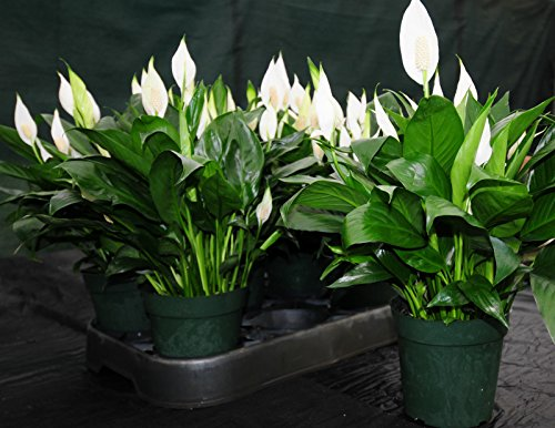 Beautiful LARGE~Peace Lily Spathiphyllum In Bloom 6'' Tropical House Plant Easy by SS100
