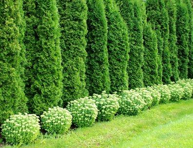Platz 2 – Riesenlebensbaum Thuja plicata