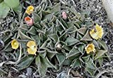 Nananthus transvaalensis HARDY LIVING STONE Exotic SEEDS!
