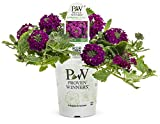 Cheap Superbena Royale Plum Wine (Verbena) Live Plant,Magenta Flowers, 4.25 in. Grande,4-pack