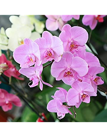 Amazon.es: Orquídeas - Plantas de interior: Jardín