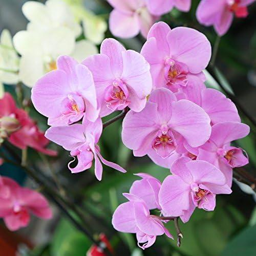 Orquídea Natural (planta viva)