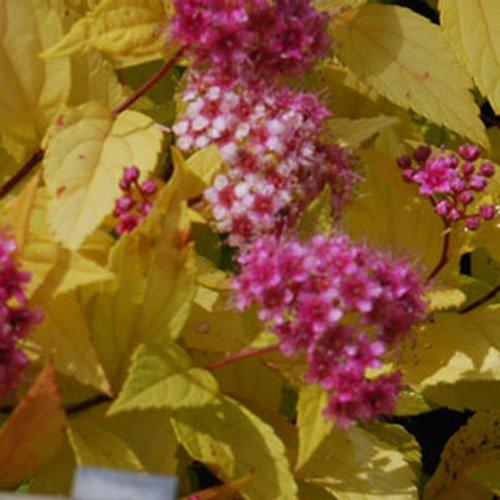 Plant World Seeds - spirea 'Golden Princess' Seeds