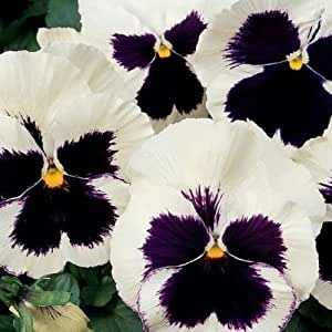 Pansy- Silverbride- (Viola Wittrockiana)- 50 Seeds