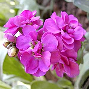 Mixed Color Violet (Red Green Purple) Garden Plants Seeds Matthiola Incana Flowers Annual Herb Seed 100 Particles / lot
