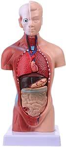 A a Z (02131) torso humano de tamaño grande modelo anatomía ...
