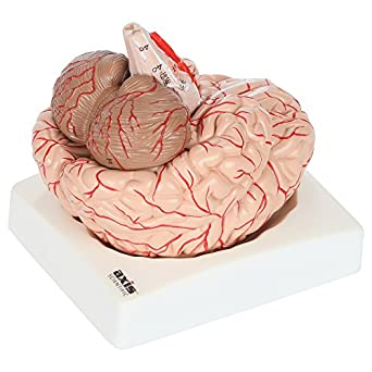 axis scientific deluxe 8 part human brain model with arteries shows major lobes and 41 anatomical features of the human brain includes base and Brain Computer Interface Diagram