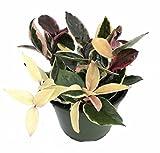 """Krimson Queen Wax Plant - Hoya - 6"""" Pot"""