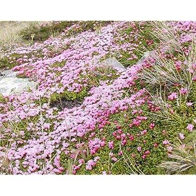 25 Loiseleuria procumbens Seeds, Alpine Azalea, Alpine Azalea, Alpine-Azalea : Garden & Outdoor