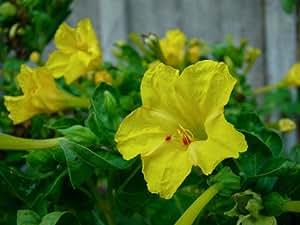 Four O'clock- Yellow- 50 Seeds