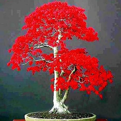 100% Semi Vero Giapponese Acero Rosso Bonsai Economici Professional Service  Pack Molto Bello Interne Dell