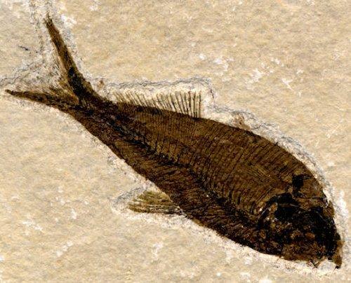 UKGE Fossil Fish Knightia alta SilverGeo Certified - Fish Knightia