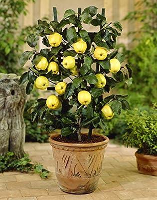 Dwarf Apple Seeds - GOLDEN DELICIOUS - Miniature - Indoor or Outdoor - 10 Seeds