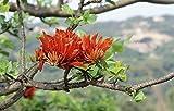 Erythrina variegata, long-lasting bloom, 5 rare seeds