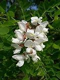 25 Flowering BLACK LOCUST TREE (Yellow Locust / False Acacia) Robinia Psuedoacacia Seeds