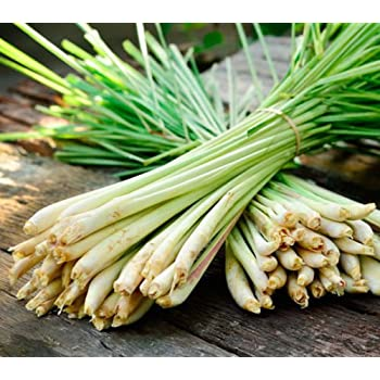 Lemongrass Plugs Stalk Cymbopogon Herb Sereh Plant Easy Grow Healthy Lemon Grass