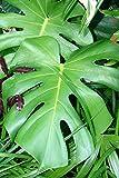 ~WINDOWLEAF~ MONSTERA DELICIOSA Philodendron BIG LEAFY INDOOR Potted Nice Plant