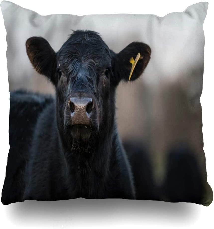 DIYCow Throw Pillow Covers Beef Brown Face Black Angus Calf Head Raised Looking Farming Wildlife Cow Yellow Funny Agriculture Home Decor Pillowcase Square Size 16 x 16 Inches Zippered Cushion Case