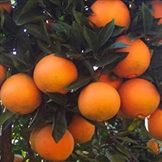 product image for 12 Navel Oranges: A Box of Sunshine from Organic Mountain
