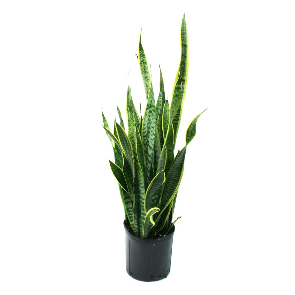 Costa Farms Sansevieria Laurentii Snake Plant in 8.75-Inch Grower Pot