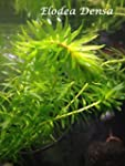 elodea densa Pond Plants Oxygenating...