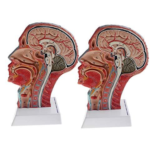 DYNWAVE 2 PCS Human Sagittal Plane Half Head and Face Anatomy Brain Neck Median Section Model Lab Demonstration Model ()