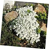 Seeds Rock Cress Snow Cap Arabis Caucasica 200 Seeds Garden Seeds 2u