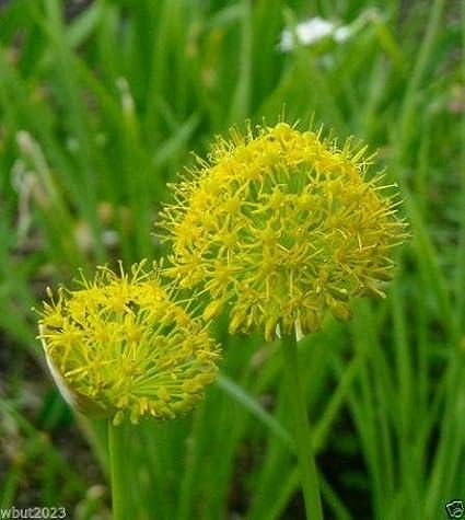 Amazon 10 allium seeds hookeri var muliense brilliant 10 allium seeds quothookeri var muliensequot brilliant yellow bell shaped flowers mightylinksfo