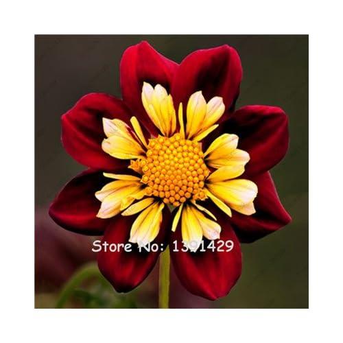 Dahlia Bulbs, (not Dahlia Seeds), Holland Dahlia Flower 3 Bulbs (item No: 2)