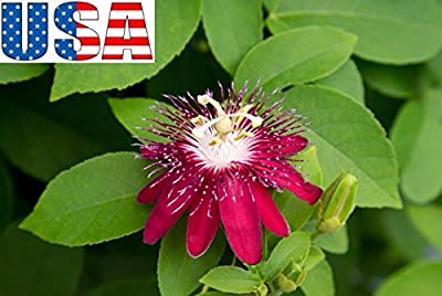 5 Seeds USA Seller Lady Margaret Passion Flower 5- Seeds Heirloom Non-GMO