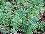 Sedum Seeds Reflexum Blue Spruce Sedum 250 Seeds Ground Cover