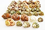 Florida Shells and Gifts Inc. FSG - 30 Select Hermit Crab Shells Lot 3/4-2'' size (opening 5/8-1'') Seashells - Includes Polished Tapestry Turbos, Silver Turbos, Silver Mouth Turbos and more.