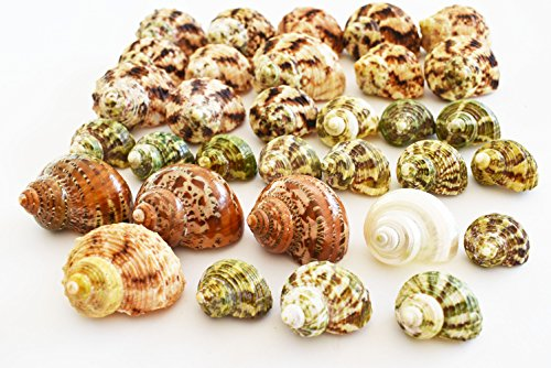 Florida Shells and Gifts Inc. FSG - 30 Select Hermit Crab Shells Lot 3/4-2'' size (opening 5/8-1'') Seashells - Includes Polished Tapestry Turbos, Silver Turbos, Silver Mouth Turbos and more. by Florida Shells and Gifts Inc.