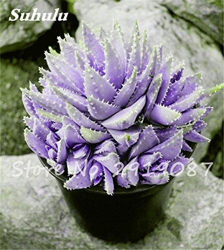 New! 20 Pcs Colorful Cactus Rebutia Variety Mix Exotic Aloe Seed Cacti Rare Cactus Office Edible Beauty Succulent Bonsai Plant