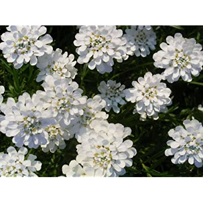 1000 WHITE EMPRESS CANDYTUFT Iberis Amara Flower SeedsComb S/H : Flowering Plants : Garden & Outdoor
