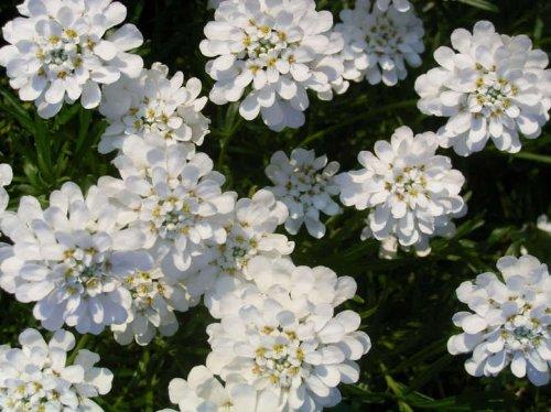 1000 WHITE EMPRESS CANDYTUFT Iberis Amara Flower Seeds *Comb S/H ()