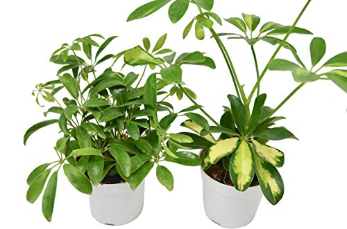 "2 Schefflera Plant Variety in 4"" Pots - Dwarf Umbrella Tree - Live Plant - 2 Different Plants - FREE Care Guide"
