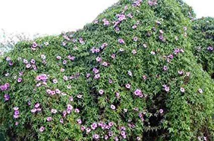 Amazon com: Fresh Cairo Morning Glory 5 Seeds (Ipomea