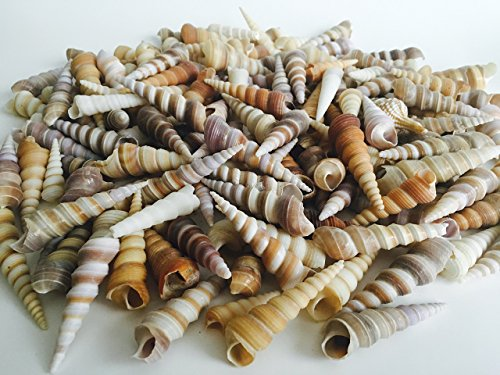 Seashell Mix Brown Purple Tan White Turritella Shells Assortment, Art Projects, Beach Decor, Home Decorations, Beach Theme Party, Wedding Décor, Fish Tank, and Vase Fillers (Shell Turritella)