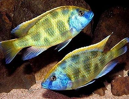 Golden Glove Fishery Venustus African Cichlid - African Cichlid