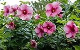10 Allamanda blanchetii Seeds , Cherry allamanda, Purple Allamanda Seeds,